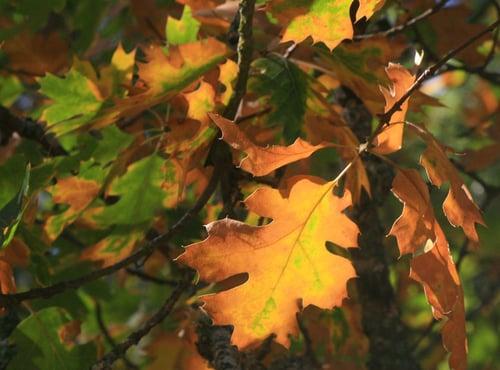 Mayfair Trail - Fall Leaves - CH - 09-11-2014 - 3