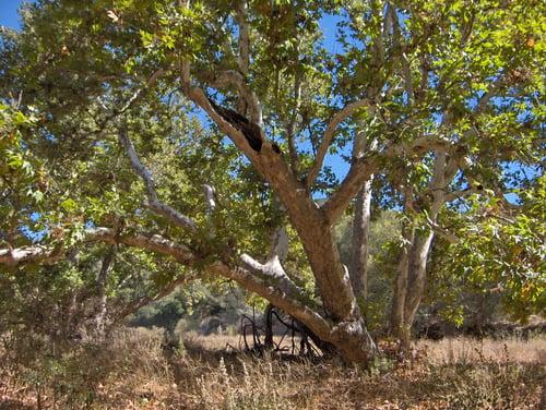 PRID - Sycamore tree - lkb - 2007 - 1
