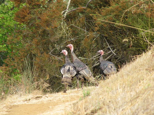 RCAN - Turkeys - D.N - AUG-11-2010