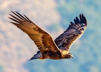 SVIS - Golden eagle - Roberto Martinez - 2019 - 3-1-1