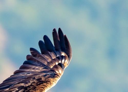 SVIS - Golden eagle - Roberto Martinez - 2019 - 3-1