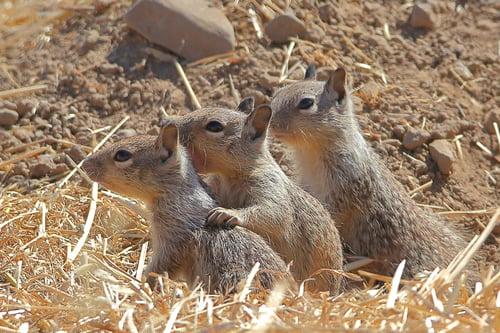 SVIS - Ground Squirrels - D.Mauk - 2020-06-30 - 2