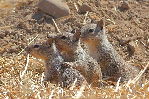 SVIS - Ground Squirrels - D.Mauk - 2020-06-30 - 2
