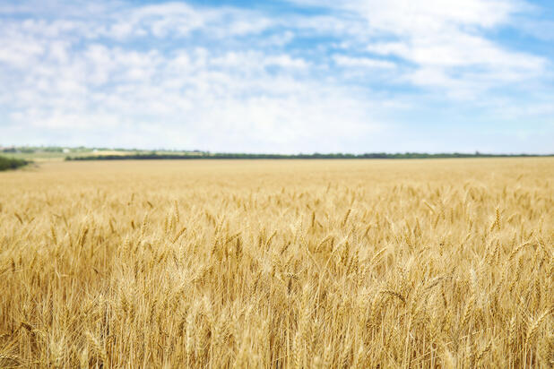 field-of-grain-for-gleaning