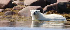 Protecting our furry friends and their future: Payworks announces 20th anniversary donation to Polar Bears International