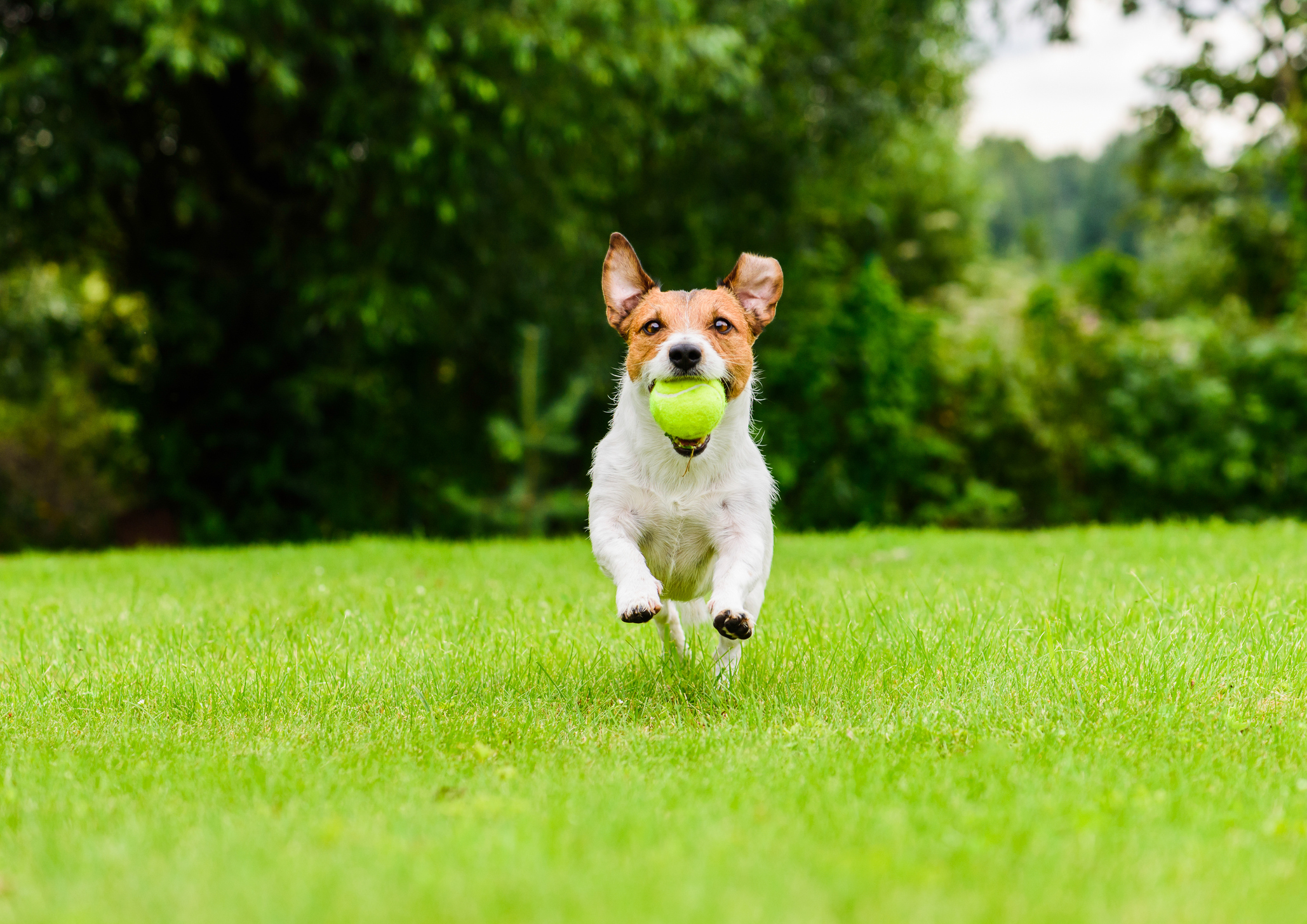 Dog running with ball on grass