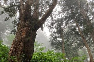 【相川地区】樹齢300年以上の巨木を観賞できる大佐渡石名天然杉