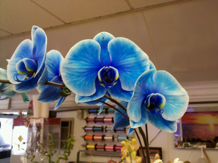 blue_orchid